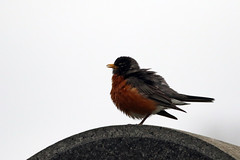May 5-16 NYC American Robin (maerlyn8) Tags: nyc vacation newyork bird cemetery brooklyn canon greenwoodcemetery tombstone may gravestone trips sillouette americanrobin avian 2016