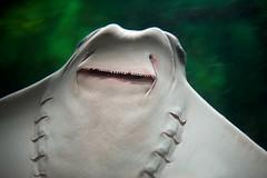 Stingray Underside (imageClear) Tags: nature beauty aquarium aperture nikon flickr ray stingray underside photostream gills sheddaquarium glide d600 imageclear 2470mmvr april82016