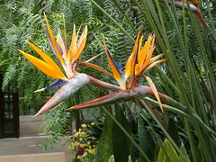Bird of Paradise flowers (edenseekr) Tags: flowers birdofparadise longwoodgardens