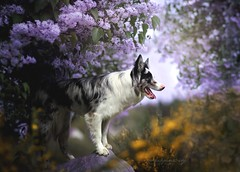 Floey foxdog wolfdog (Martyna Og) Tags: dog poland lilac fox happyface 3flower 3wolf lookslikeawolf littledoglaughedstories 3bordercollie 3floeythebordercollie 3wolfdog 3foxdog 3doginlilac 3doginflower 3floeyinlilac