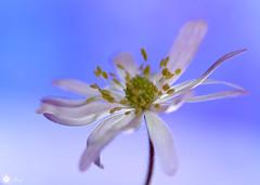 Whisper in the wind (Trayc99) Tags: flower macro floral beauty petals softness delicate floralart beautyinnature flowerphotography beautyinmacro