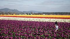 Tulip Fest (13 of 26) (evan.chakroff) Tags: flowers festival washington spring unitedstates tulips tulip april mountvernon tulipfestival mtvernon roozengaarde 2016
