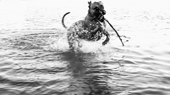 Euphoria (EX22218 - ON/OFF) Tags: bw dog pets dogs water animals sticks play lakes fetch blackwhitephotos twtme