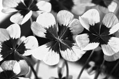 Kleeblatt - cloverleaf (Hobbyfotografie Rebekka) Tags: kleeblatt pflanze pflanzen cloverleaf klee schwarz weiss schwarzweiss