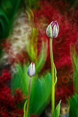 Tulips In Red (WaSz-Fotograf) Tags: flowers light red plant flower color green garden spring flora tulips natural bokeh 500px ifttt
