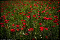 Mohn (Hanspeter Ryser) Tags: red flower green rot nature grass spring natur meadow wiese gras marguerite grn blume mohn margerite oppy frhlin