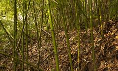 bosque de bamb .. explore 03/05/2016 (www.infografiagijon.es) Tags: naturaleza mountain forest canon asturias bosque montaa bamb gijon bambu xixon markii caa foresta asturies infografia astur eos5d hernancad wwwinfografiagijones
