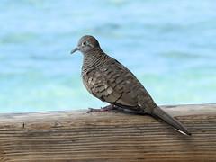 Zebra Dove (altfelix11) Tags: bird hawaii dove maui lahaina frontstreet zebradove introducedspecies