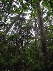 Vegetation on Equinox Track (dracophylla) Tags: newzealand codfishisland whenauhoa