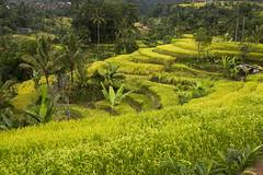 sawah 4 (Fakhri Anindita) Tags: bali nature field indonesia landscape photography nikon farm ubud sawah jatiluwih