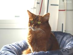 Caithlin in the shared bed (Finn Frode (DK)) Tags: pet cats animal cat denmark bed indoor olympus som rest somali somalicat caithlin omdem5 dusharacathalcaithlin
