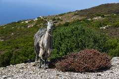 29-Grce Greece 07/2015 (Chanudaud) Tags: sea mer mountain animal montagne landscape island nikon village ngc goat greece paysage grce andros cyclades nationalgeographic chvre le