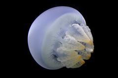 blue blubber jelly 6 (Serenae) Tags: ocean blue animal animals aquarium md jellies jellyfish maryland science baltimore jelly marinebiology biology nationalaquarium baltimoreaquarium invertebrate invertebrates blubber blueblubberjelly