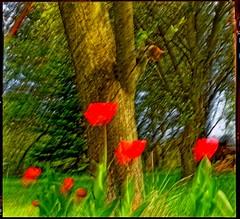 red flora (thomaskrumm) Tags: tkrumm tulip red flora tulpe wiese