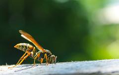 Dangerously close. (Derek Keeling Photography) Tags: orange brown white black macro green yellow closeup canon bug rebel fly dangerous wings wasp sting bee hornet t3 stinger