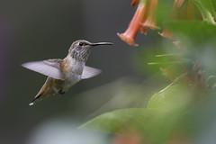 Allen's Hummingbird (605_4702-1) (Best Practices) Tags: hummingbird bestpractices allenshummingbird