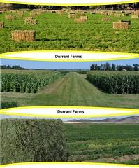 durrani-farms_55a3a4563e27f_w1500 (DurraniFarms limited) Tags: pakistan mango producer sindh exporter certified aisia