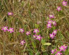 Davy's centaury (Tom Clifton) Tags: wildflower pointlobos davyscentaury moundmeadow