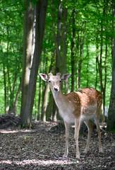 Deer :) [explored 29.5.2016] (jittkoc) Tags: nature animal outdoor deer brno holedn nikond5300 nikkor18140 oboraholedn