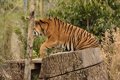 Islands at Chester Zoo (149) (rs1979) Tags: zoo islands tiger chester sumatrantiger chesterzoo