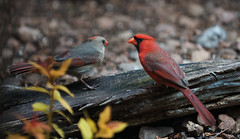 Northern Cardinal's (jdcalvin096) Tags: red nature minnesota feeding northerncardinal naturescreations