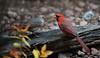 Northern Cardinal's (jdcalvin096) Tags: red nature minnesota feeding northerncardinal naturescreations