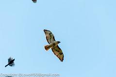 RedTailHawk battle 6_DSC5604.jpg (orig_lowolf) Tags: usa home oregon nikon flickr flight crow attacking redtailedhawk lakeoswego d300s sigma150500mmf563afapodgoshsmtelephotozoom