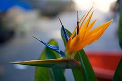 Bird of many colors! (ineedathis, Keep on Ticking!) Tags: plant flower nature garden southafrica spring exotic birdofparadise tropical perennial strelitzia craneflower nikond750