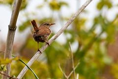Troglodyte mignon (ijmd) Tags: bird oiseau france bretagne ledebatz