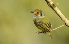 Myiornis auricularis (Aisse Gaertner) Tags: brazil bird birds brasil nikon ngc p900 coolpix birdwatching birdwatcher myiornisauricularis blinkagain