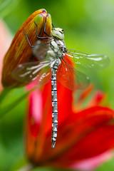 IMG_7475 (ruut103) Tags: closeup fauna photo dragonfly
