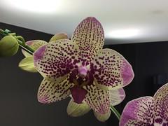 Esplendorosa. (Elias Rovielo) Tags: flowers flores fall orchids sopaulo outono orquideas