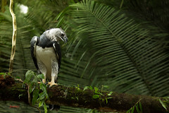 Harpy Eagle perched on a branch (Chris Jimenez Nature Photo) Tags: peru nature birds forest rainforest wildlife birding eagles biggest birdsofprey aguila puertomaldonado harpyeagle arpia rapaces harpiaharpyja chrisjimenez