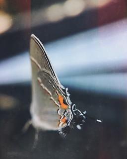 Gray Hairstreak Butterfly #Macro #mextures #explore #olloclip