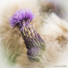 A Portishead Thistle (zolaczakl ( 2 million views, thanks everyone)) Tags: july 2016 portishead thistle wildflowers photographybyjeremyfennell nikond7100 sigma1835mmf18dchsmlens uk england southwest