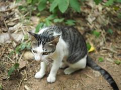 Cats rule the world (kaoru[E]) Tags: world cats cat neko  rule  thecat