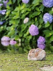 B6250747 (VANILLASKY0607) Tags: rabbit bunny bunnies nature animal japan photo wildlife wildanimal hydrangea rabbits rabbitisland wildrabbit okunoshima