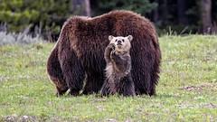 Snowy (jrlarson67) Tags: bear brown playing animal standing cub nationalpark furry nikon funny play snowy wildlife wave grand grizzly teton waving d500 399
