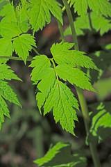 CAC038445a (jerryoldenettel) Tags: flower nm wildflower baneberry actaearubra actaea 12016 cibolaco zunimts hausnercanyon magnoliopsidaranunculalesranunculaceae