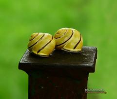 Insieme  (Cepaea nemoralis) (Giancarlo Giupponi  Trentino) Tags: nikon lumaca d800 chiocciola gialla cepaeanemoralis ggiupponi