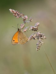 Papillon Myrtil sur gramine (isabellebienfait1) Tags: macro butterfly drew papillon sigma105 nymphalidae maniolajurtina rose papillonmyrtil proximacro nikond7200