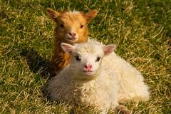 Faroe Fluff (West Leigh) Tags: travel baby cute nature animal sheep sweet small innocent adorable fluffy siblings lamb lambs naturalbeauty faroeislands saksun