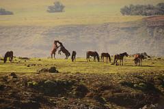 Horse Fight (jackkostelec) Tags: chile rapanui horsefight
