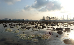 Mass coral bleaching at Terumbu Hantu, 9 Jun 2016 (wildsingapore) Tags: nature marine singapore underwater wildlife coastal threats intertidal seashore bleaching marinelife cnidaria wildsingapore scleractinia terumbuhantu
