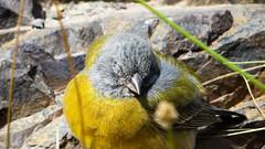 Cometocino de gay (Grey-hooded Sierra-Finch) (Matias Barrios) Tags: chile bird fauna andes cordillera cajondelmaipo cometocino monumentoelmorado