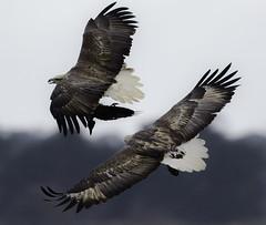 _G4A4062 (iansjamieson) Tags: sea canon do eagle ii raven f4 avalon 400mm wtp 14xtc