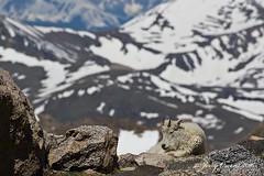 8128 (JerrysPhotographs) Tags: mammal colorado wildlife scenic goat mountaingoat mtevans