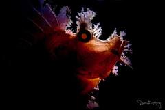 Rhinopias frondosa (Randi Ang) Tags: rhinopiasfrondosa rhinopias kecinan bay lombok indonesia underwater macro scuba diving dive photography randi ang canon eos 6d 100mm marine life