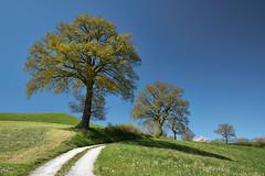 Eichen auf dem Belpberg (bolliger51) Tags: schweiz quercus natur wiese himmel bern che blau landschaft baum feldweg weg frhling eiche himmelblau quercusrobur laubbaum stieleiche gelterfingen