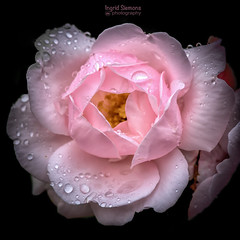 Roses in the Rain (Inky-NL) Tags: pink roses flower macro rose square petals drops roos micro d750 raindrops waterdrops rozen waterdruppels roze bloem 105mm druppels nikon105mmf28 nikonafsvr105mmf28gifed nikond750